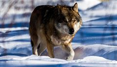 Vlků žije v Česku necelá stovka. Jsou plaší, vědci se nejvíce dozvědí z trusu