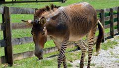 Zeptali se vědců: Proč se kůň může křížit se zebrou, ale ne člověk se šimpanzem?