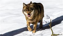 V boji s kůrovcem může pomoci vlk. V lesích je ho zatím málo