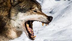 Vlk jako pomocník v boji s kůrovcem. Loví zvěř, která požírá sazenice listnáčů
