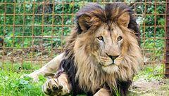Majitel zoo na Lounsku prokazatelně týral tři dospělé lvy. Žili v jednoduché mobilní kleci