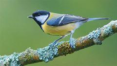 Výsledek masového sčítání ptáků. 14 tisíc lidí vidělo u krmítek nejčastěji sýkorku