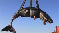 Dvacet kilogramů plastů se našlo v těle velryby, která uhynula v Itálii