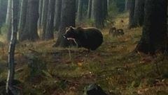 Medvědice v Beskydech se chytla do pasti. Váží přes metrák, dostala speciální obojek