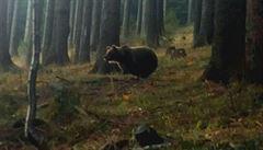 Před medvědem neprchejte, radí obec. V Krásné na Beskydsku už potřetí hodoval