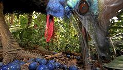 Chovatele na Floridě zabil kasuár. Muž nejspíš zakopl a pták ho smrtelně zranil drápy