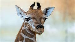 Nový přírůstek do pražské žirafí rodiny se jmenuje Matyáš