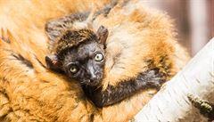 Ostravská zoo jako jediná na světe odchová letošní mládě vzácného modrookého lemura