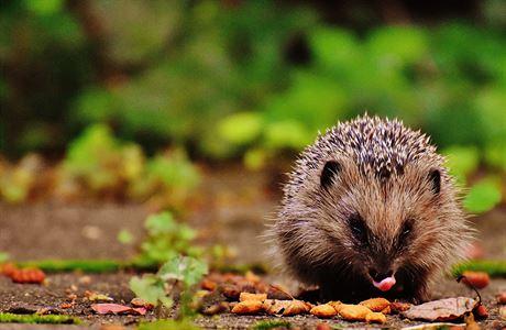 Lidé je chovali jako domácí mazlíčky. Jak probíhala invaze ježků na Nový Zéland