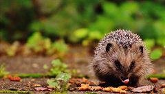 Nový Zéland plánuje vymýcení ježků. Roztomilá zvířata devastují ekosystém