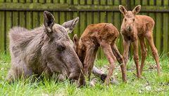 Losí dvojčata v Chomutově zachránila matka. Lehla si ke kojení, což je u losů nevídané