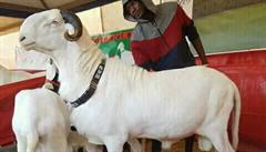Mánie kolem luxusních ovcí plemene ladoum v Senegalu. Beran stojí milion a půl korun