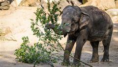 Krásné kulatiny v pražské zoo oslavilo její druhé nejstarší zvíře, slonice Gulab