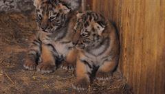 Tygři i hroch na dosah ruky. Neobvyklý zoopark láká i na mláďata
