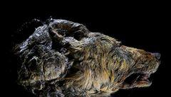 Vědci ukázali pravěkého vlka. Obří hlava s neporušeným mozkem byla pod ledem 40000 let