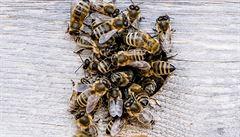 Anglický trávník pro včely a ostatní hmyz znamená tragédii