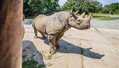 Největší přesun nosorožců z Evropy do Afriky se zdařil. Pět zvířat ze Dvora Králové dorazilo do Rwandy
