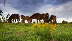 V Česku je v pěti rezervací již 111 divokých koní