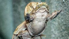 Šourková žába v Praze. Zoologická zahrada otevřela expozici ohrožených žab z jezera Titicaca