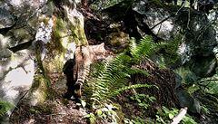 V Doupovských horách zachytila fotopast kočku divokou