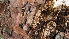 Reuters: Kůrovec řádí i ve Francii, v loňském roce to dřevaře stálo 2,1 miliardy korun