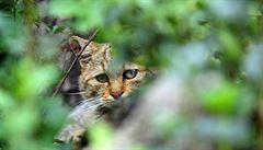 Muž zavolal policii kvůli kočce na zahradě. Spletl si ji s tygrem