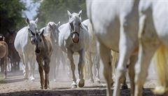 OBRAZEM: Jediný hřebčín na seznamu UNESCO. Koním podřídili v Kladrubech nad Labem úplně vše