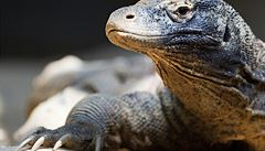 Čeští vědci se podíleli na 'přečtění' genomu největšího ještěra na světě
