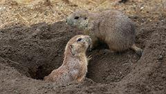 Pražská zoo otevře novou expozici psounů, v té staré se podhrabávali do sousedních výběhů