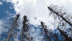 V Modřanské rokli je zhruba polovina smrků napadená kůrovcem, nahradí je buky či habry