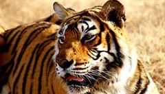 V Indii zastřelili agresivní tygřici. Za poslední dva roky zabila 13 lidí