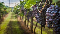 Plocha vinohradů poprvé od roku 2011 klesla. Nejvíce se pěstuje Pálava a Ryzlink