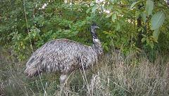 VIDEO: Strážníci v Brně naháněli hbitého emua. Prchal jim týden, dopadli ho u základní školy