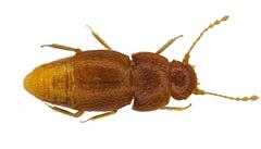 Britský vědec pojmenoval nově popsaného brouka po Gretě. Hmyz nemá oči ani křídla