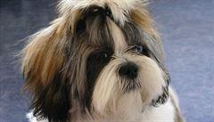 SERIÁL ŽIVOT SE PSEM. Venčení dvouletého německého ovčáka Rona mívalo k ideálním vycházkám daleko. Vystresovaný pes venku štěkal na všechny a na všechno, nezřídka chňapal i po paničce. Příčina Ronova...