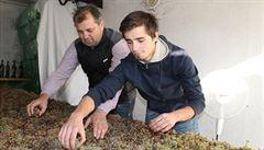 Vinařství z Boršic zkouší potřetí vyrobit slámové víno. Lisovat se začne nejdříve za tři měsíce