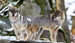 Kříženci psů a vlků se objevují napříč Evropou, ukázala studie