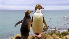 Silně ohrožený tučňák se na Novém Zélandu stal ptákem roku