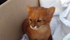 Ze zachráněného koťátka se vyklubala 'divoká puma'. Nápadné aktivity zvířete si dívka nevšimla