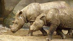 Vzácný nosorožec prý vymizel. Teď ekologové našli jeho stopu