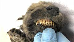 Vědci našli na Sibiři 18 000 let staré štěně. Pravděpodobně jde o nejstaršího nalezeného psa