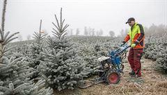 Borovičky nebudou, říká šumavský pěstitel. Stromky na své plantáži 'střihá' vlastnoručně vyrobeným strojem