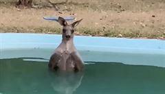 VIDEO: Klokan v Austrálii využil zahradní bazén, chtěl se ochladit. Teď je hitem internetu