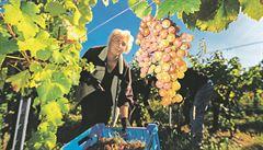 Vinobraní bude letos později, zrání hroznů zpomalilo chladnější a deštivější léto