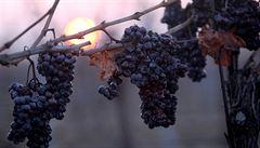 Ledové vinobraní přišlo pozdě. Úroda stojí za to