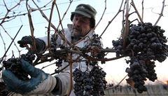 Vinaři se dočkali, díky mrazům může začít sběr ledového vína