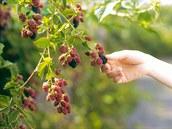 Bylinková abeceda. Ostružiník obsahuje minerální látky či vitaminy a snižuje tlak