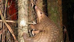 Nejvíce pašované zvíře v Asii dostalo status nejvyšší ochrany. Jeho spojitost s koronavirem se neprokázala
