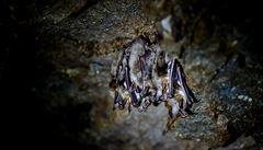 Změna klimatu svědčí netopýrům. Jsou i tam, kde dosud byli vzácní