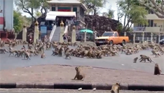 'Lidé v kleci a opice na svobodě.' Makakové v thajském městečku se vymkli kontrole, zasáhnou úřady